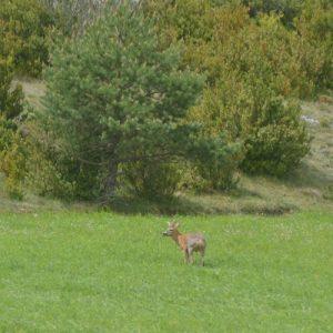 chevreuil vers la Couvertoirade (Causse du Larzac)