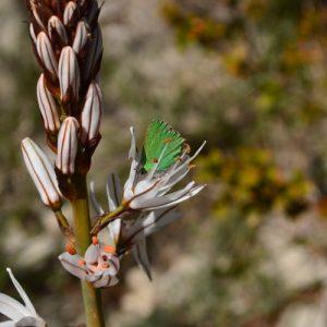 fleur de candélabre et papillon « argus-vert » - Causse du Larzac