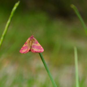 « Ensanglantée de l'oseille » (Lythria cruentaria) - vers l'Arboretum du « Hort de Dieu », Mt Aigoual