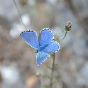 L'Argus bleu céleste -  berge de la Dourbie, Mt Aigoual