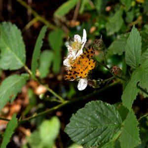 """Pseudopanthera macularia"", petit papillon de lisière de forêt"