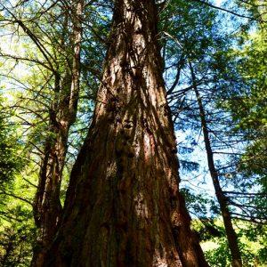 sequoia à  l'Arboretum du « Hort de Dieu » - Mt Aigoual