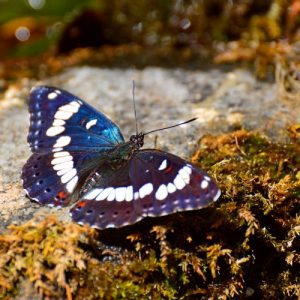 Le sylvain azuré - berges des Gorges de la Vis