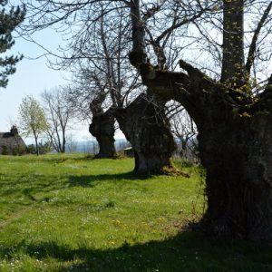 """vénérables arbres, """"la Lézardière"""" - vers la chapelle St Etienne (Vialat-du-Tarn, Aveyron)"""