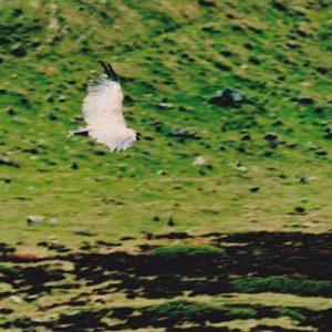 vautour fauve au Col d'Esclot d'Aou