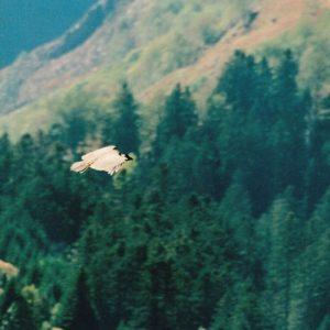 vautour fauve au dessus de Sarrouègère