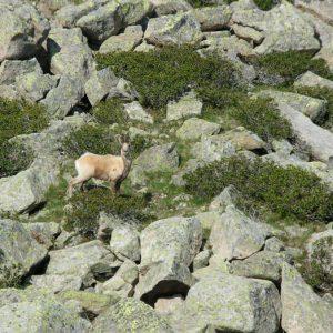"""Granit, Isard et rhododendrons - La vision de ce majestueux """"animal"""" dans son milieu naturel me restera pour longtemps... !"""