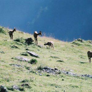Isards - Mères et leurs jeunes... au-dessus de la vallée de Neste de la Géla
