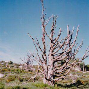 L'arbre mort au col de l'Homme Mort - La Condamine, sud du massif de L'Aigoual