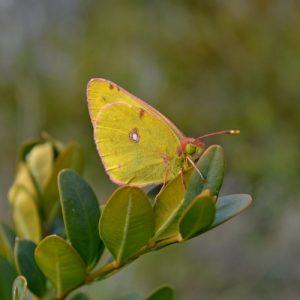 Le souci (Colias croceus) - Causse Nois, Aveyron