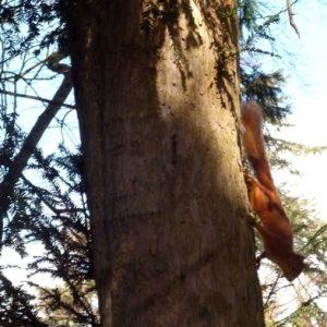 Écureuil roux - Région du Comminges