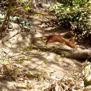 Écureuil roux - Comminges