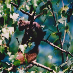 Écureuil roux de nos bois...