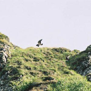 Faucon pèlerin - Aux abords du lac d'Aygue Rouye