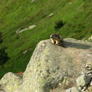 Marmotte des Pyrénées - Au passage du sentier du lac d'Estom à ceux d'Estibe-Aute ...
