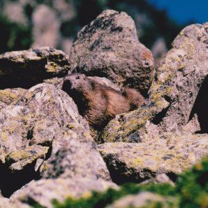 Marmotte des Pyrénées - Sur les berges du lac de Gaube (Cauterets)