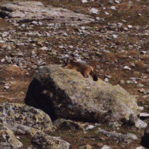 Marmotte des Pyrénées - Elles se prélassent avec délices sur les bords sud de ce lac (Saussat)