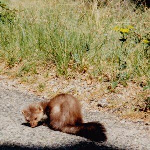 Martre des pins, rencontre au détour d'un chemin dans la forêt domaniale de Saint-Guilhem-le-Désert (Hérault)