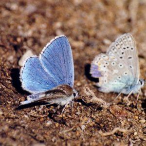 L'Argus bleu céleste - Sur les berges de la Vis
