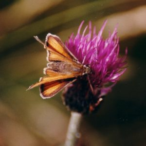 Hespérie - À la Cham des Bondons, massif du Lozère