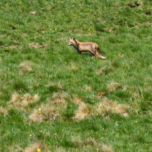 renard... aux sources de la Dourbie (Mt Aigoual)