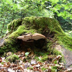 """Fistulina hepatica ou """"langue de bœuf"""", forêt de Faubel (massif de l'Aigoual)"""