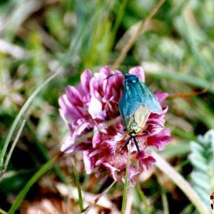 Zygènes turquoise - Causse Noir, Aveyron