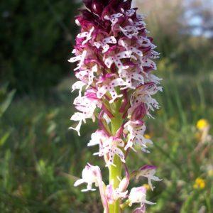 orchis-brûlé, Causse du Larzac