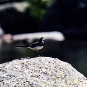 Bergeronnette grise (Motacilla alba) - Sur les berges du Tarn au pont Romain, mont Lozère