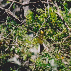 Bergeronnette des ruisseaux - La Vis