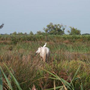 Camarguai et une aigrette sur le dos... aux marais de la Palunette