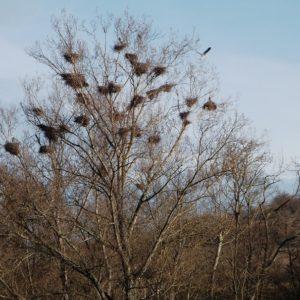 nidification du héron cendré sur les berges du Tarn vers Comprégnac - 12