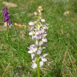 Orchis mâle - Larzac