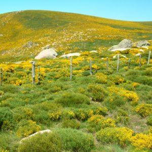 """""""Sagne Rousse"""" (alt. 1404m.) au printemps, les genêts sont en fleurs,- Mt Lozère"""