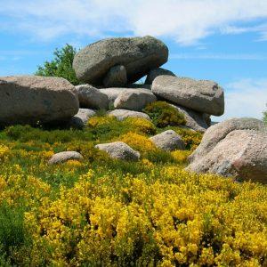 genêts en fleurs, Rocs de Montal - Mt Lozère