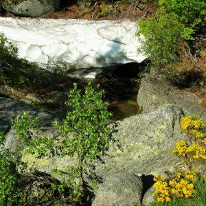 """""""Mère l'Aïgue"""" entre neige et floraison, Mt Lozère"""