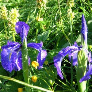 iris sauvages, Vallée de la Frèche, Pyrénnées (Luchon)
