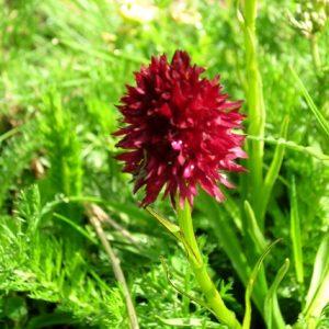 nigritelle-noire (orchidée) Vallée de la Frèche, Pyrénnées (Luchon)