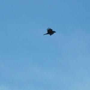 Grand Corbeau (Faubel - Massif de l'Aigoual)