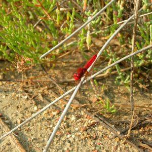 libellule rouge-sang, (ancien Fort de Peccais)