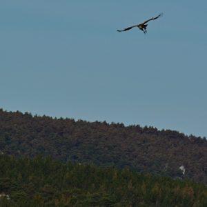 vautour fauve - Causse Méjean