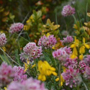 fleurs champêtres de causse (Larzac)