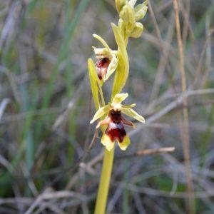 Ophrys d'Aymonin
