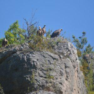 Vautours fauves dans les Gorges du Trèvezel (massif de l'Aigoual)