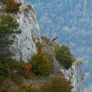 Circaète Jean-le-Blanc  qui surveille son aire (Gorges de la Dourbie)