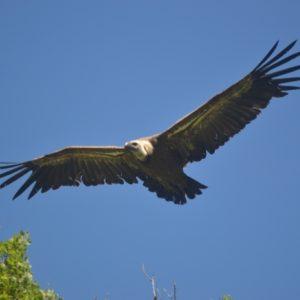 Vol majestueux du vautour-fauve (G. du Trévezel - 30)
