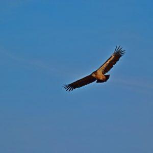 """vautour fauve - vers """"Pié de Barry"""", le Larzac"""