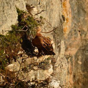 """vautour fauve - """"les Beaumes"""", le Larzac"""