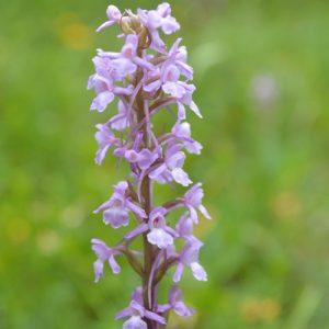 """""""orchis moucheron"""" - Causse Noir (Aveyron)"""