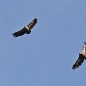 vautours fauves - Causse Noir